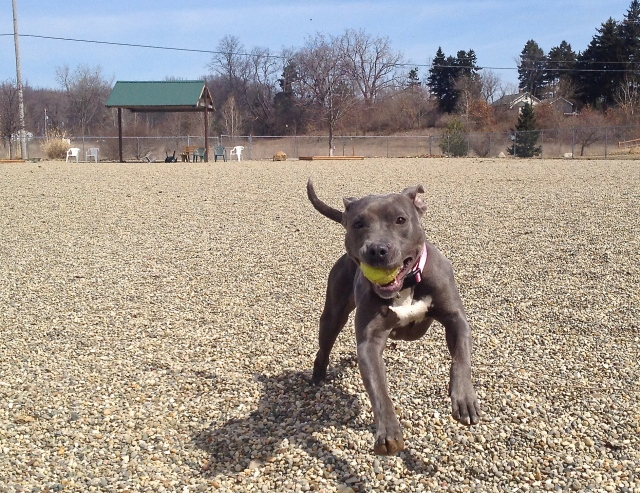 Miracle, available for adoption at Cascades Humane Society in Jackson, Michigan